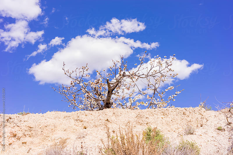 Almond tree hidden by Carles Rodrigo Monzo for Stocksy United