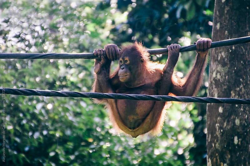 Contortionist orangutan on a cable, Borneo, Malaysia by Alejandro Moreno de Carlos for Stocksy United