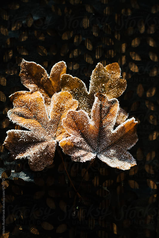 Frosted leaves by Helen Rushbrook for Stocksy United