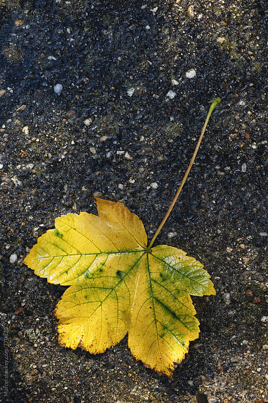 Big maple leaf fallen on the pavement by Marcel for Stocksy United