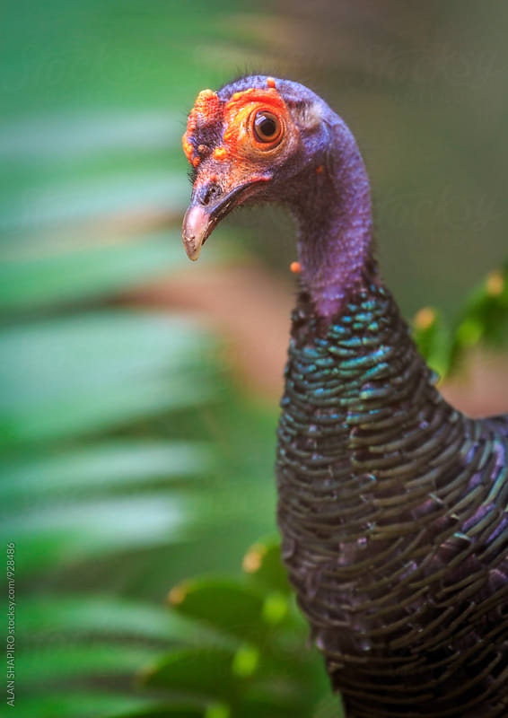 Ocellated Turkey by alan shapiro for Stocksy United
