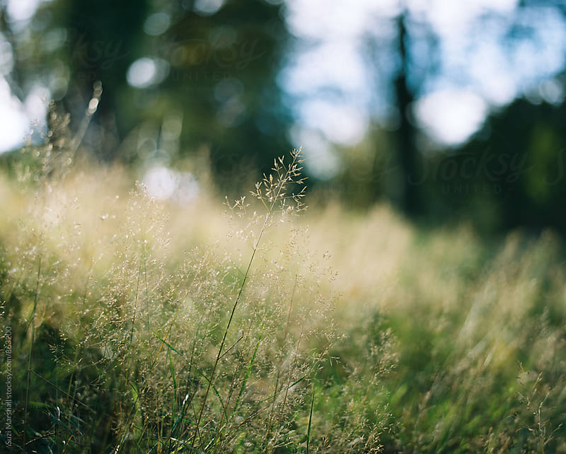 Grass in a field in afternoon light by Suzi Marshall for Stocksy United