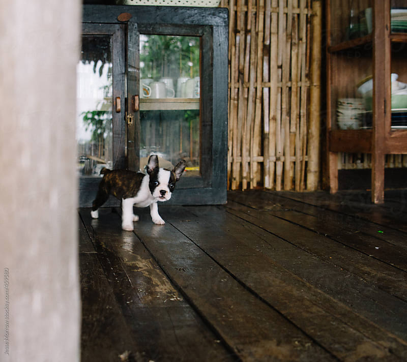 Cute puppy playing in house  by Jesse Morrow for Stocksy United