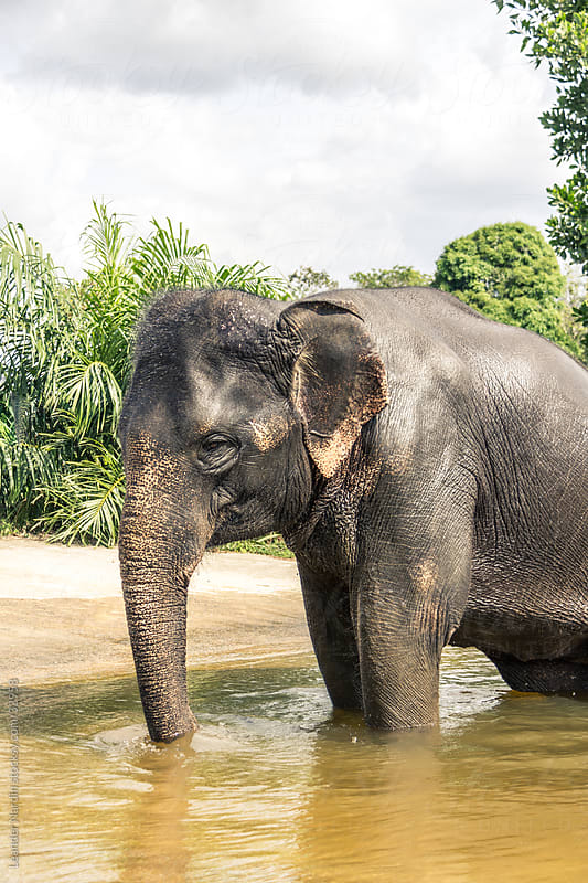 Indian elephant takes a bath by Leander Nardin for Stocksy United