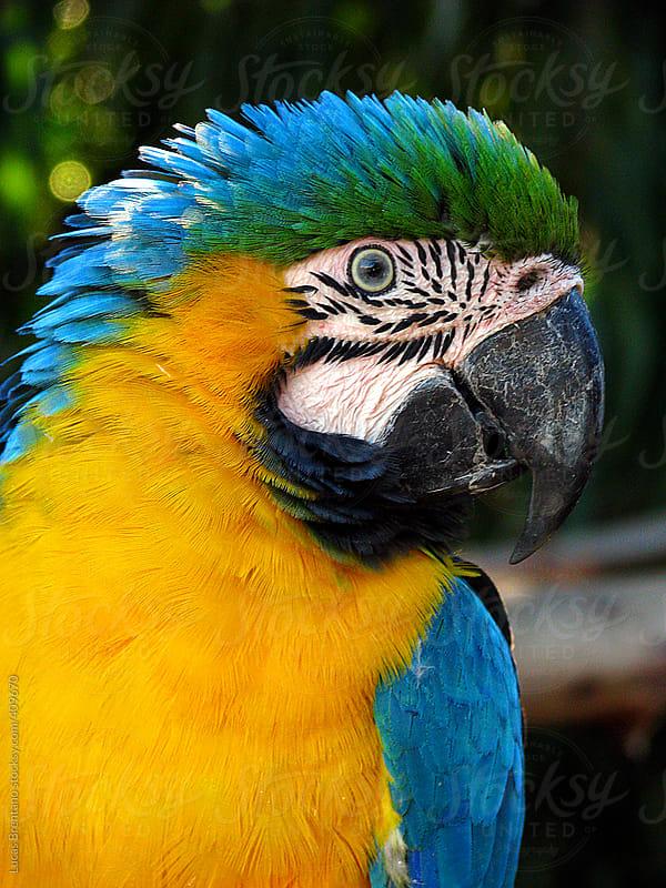 Brazilian Macaw by Lucas Brentano for Stocksy United