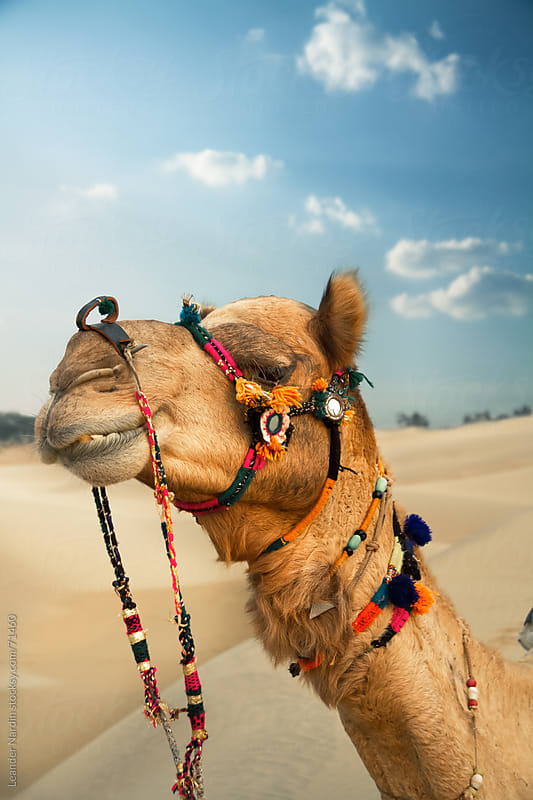 Camel in the desert  by Leander Nardin for Stocksy United