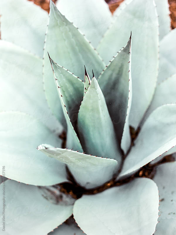 Close up of succulent by Daniel Kim Photography for Stocksy United
