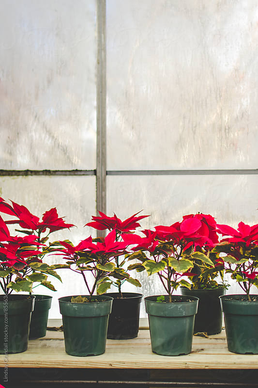 Poinsettias inside a conservatory window by Lindsay Crandall for Stocksy United