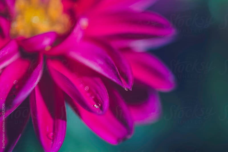 Beautiful pink flower with water drops. by Eva Plevier for Stocksy United