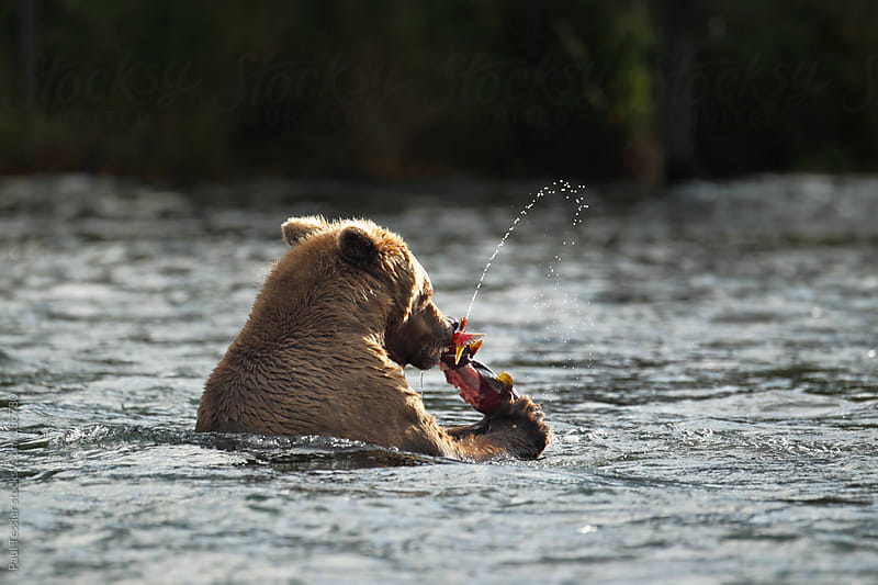 Feeding Bear by Paul Tessier for Stocksy United