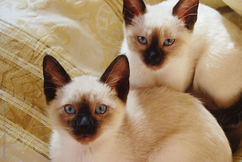Siamese Kittens by Chelsea Victoria for Stocksy United
