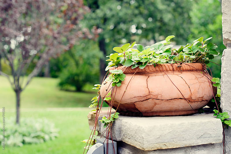 Wild Strawberry Plant Trails Down From Terracotta Planter by Leigh Love for Stocksy United