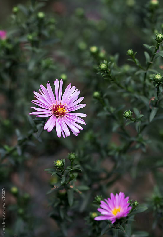 Pink daisies in the wild by zheng long for Stocksy United