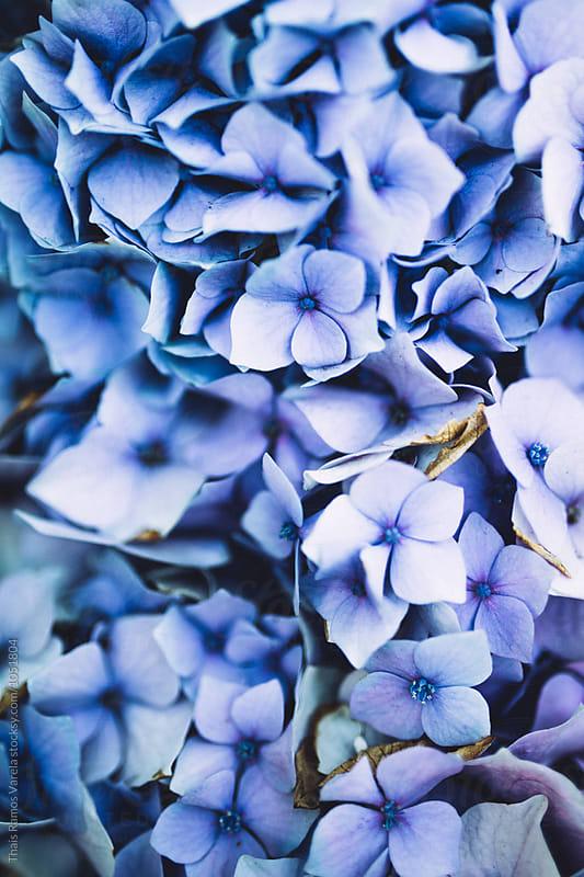 pale blue hydrangeas by Thais Ramos Varela for Stocksy United