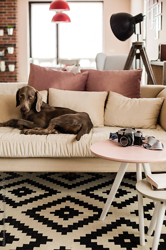 Dog lying on sofa in contemporary interior by Aleksandar Novoselski for Stocksy United