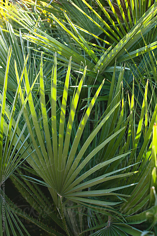 close up of fan palm leaves by Natalie JEFFCOTT for Stocksy United