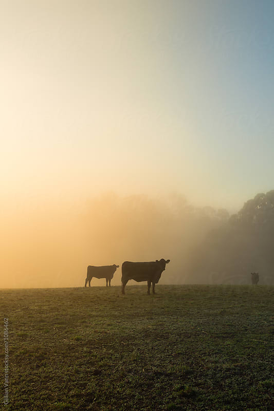 morning mist on the farm, with cows in silhouette by Gillian Vann for Stocksy United
