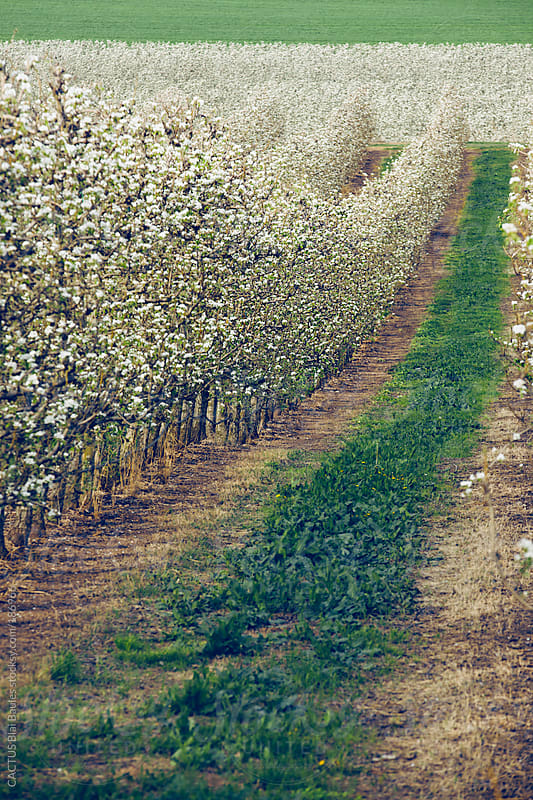 Landscape of pear trees in blossom by CACTUS Blai Baules for Stocksy United