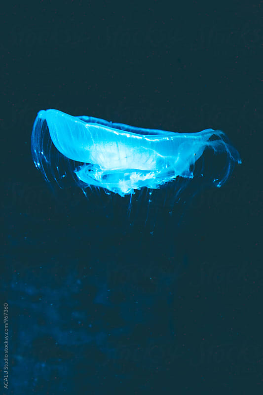 Fluorescent blue jellyfish floating in the water by ACALU Studio for Stocksy United