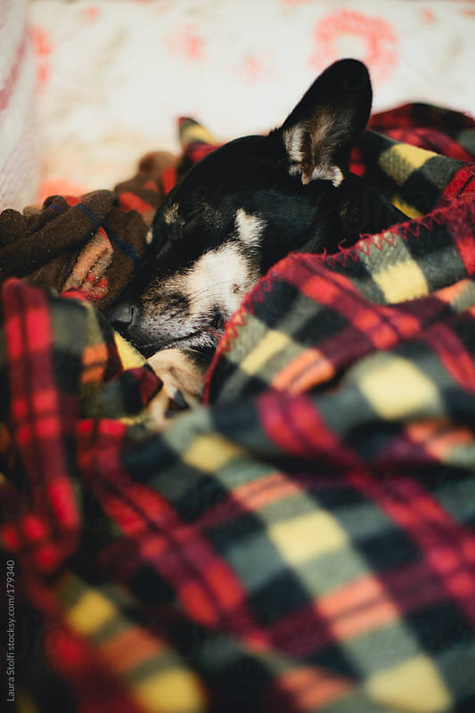 Black  dog sleeping blissfully inside a woolen blanket by Laura Stolfi for Stocksy United