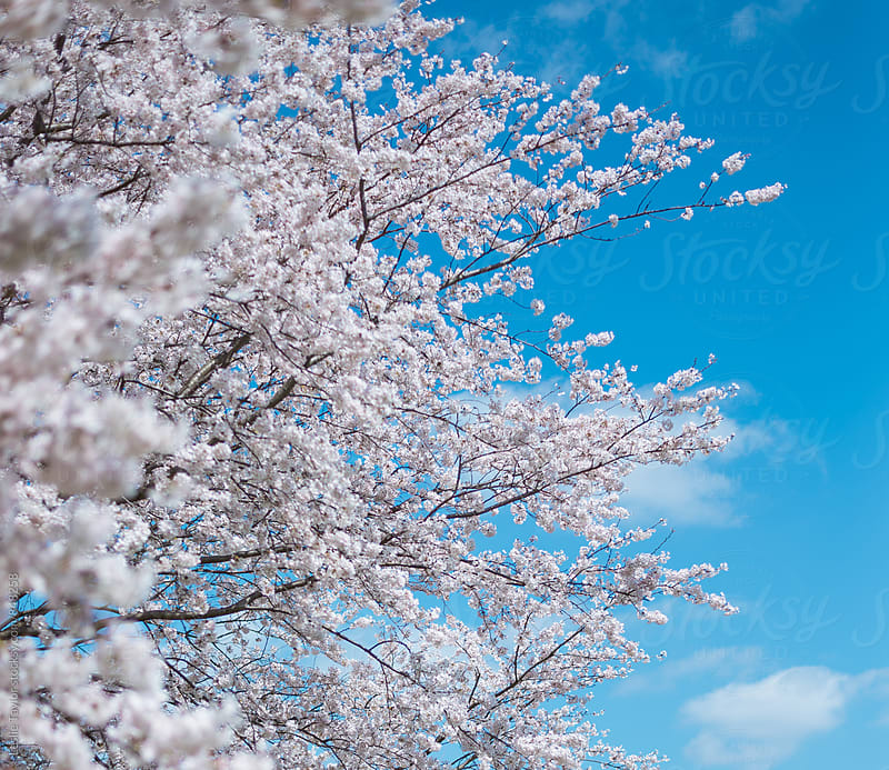 Cherry Blossom Tree Against A Blue Sky by Leslie Taylor for Stocksy United