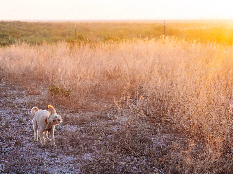 Small silly terrier dog shaking while walking in field by Jeremy Pawlowski for Stocksy United