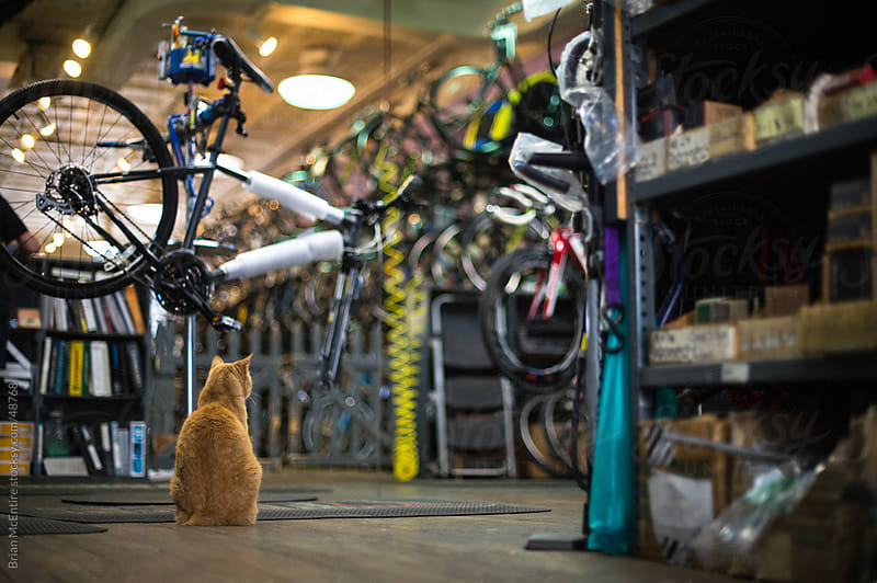 Local Bike Shop: Pet Cat Watching In Mechanics Area by Brian McEntire for Stocksy United