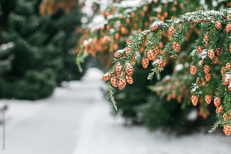 Snow on Pine Cones by Zocky for Stocksy United