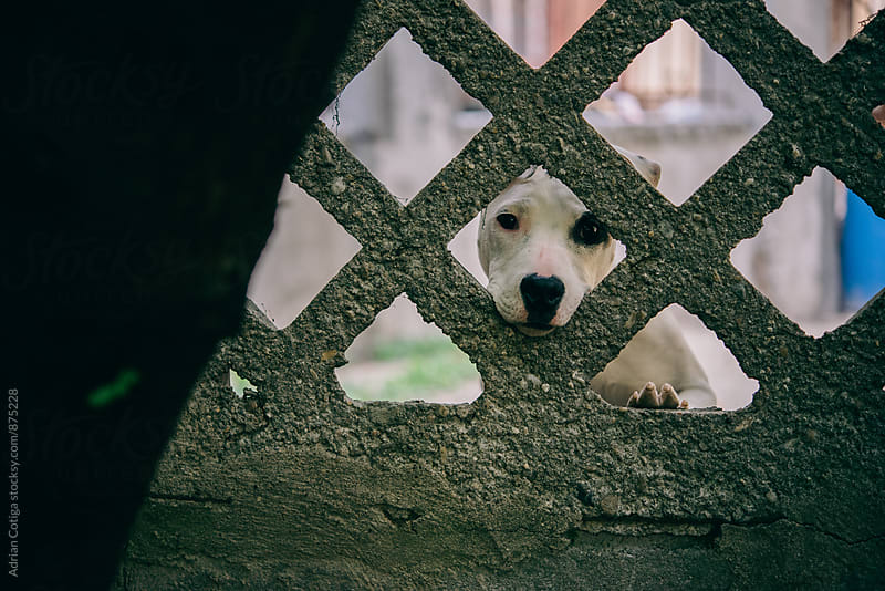 Cute dog looking through a concrete fence by Adrian Cotiga for Stocksy United