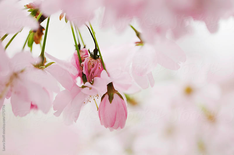 Pale and pink cherry tree blossom by Laura Stolfi for Stocksy United