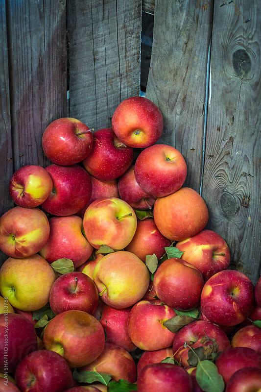 apples in bin by ALAN SHAPIRO for Stocksy United