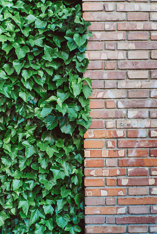 Ivy next to a brick wall. by Eva Plevier for Stocksy United