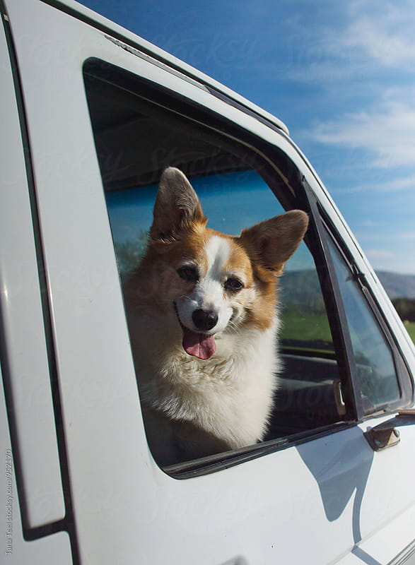 corgi mix dog sits in passenger side of pickup by Tana Teel for Stocksy United