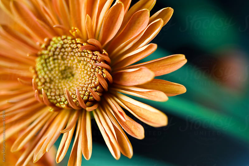 Macro of colorful orange flower by Kerry Murphy for Stocksy United