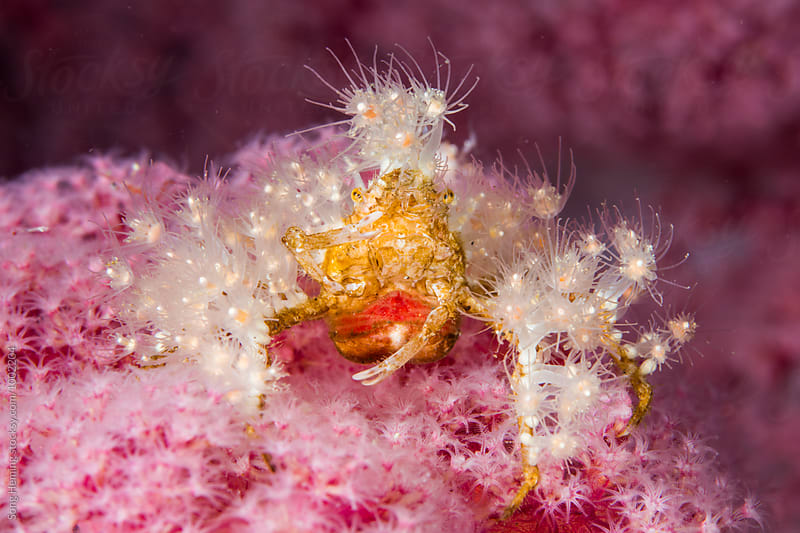 Soft coral crab stand on pink soft coral carry eggs with black background by Song Heming for Stocksy United