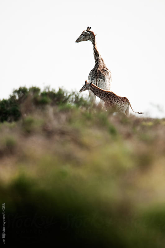 mother and baby Giraffe in south africa by Jan Bijl for Stocksy United