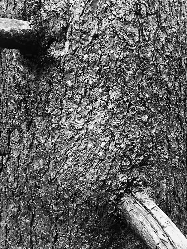Close up of fire damaged Ponderosa pine tree, Cascades, WA, USA by Paul Edmondson for Stocksy United