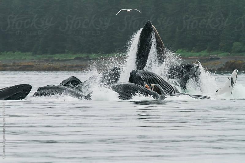 Humpback whales bubble net feeding in Alaska by Cameron Zegers for Stocksy United
