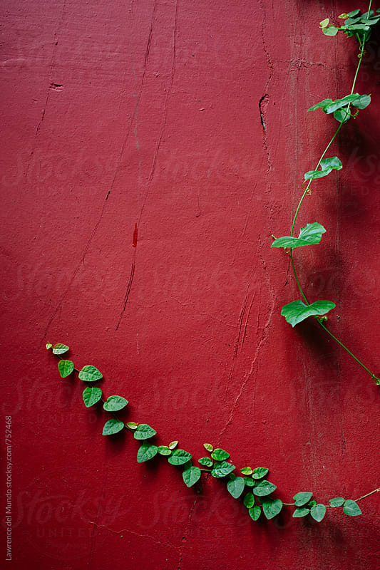 Green vines on maroon wall by Lawrence del Mundo for Stocksy United