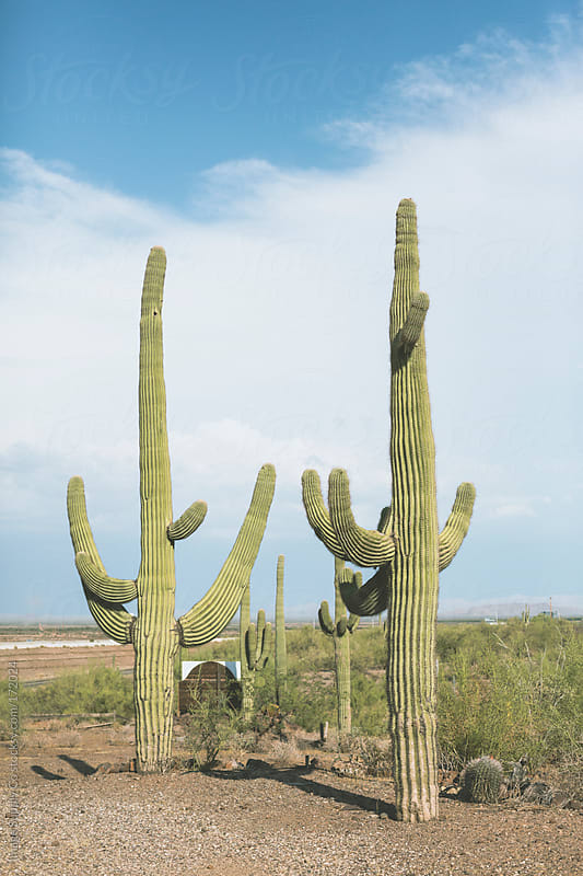 Giant Saguaro Cacti plants in the Arizona Desert by Image Supply Co for Stocksy United