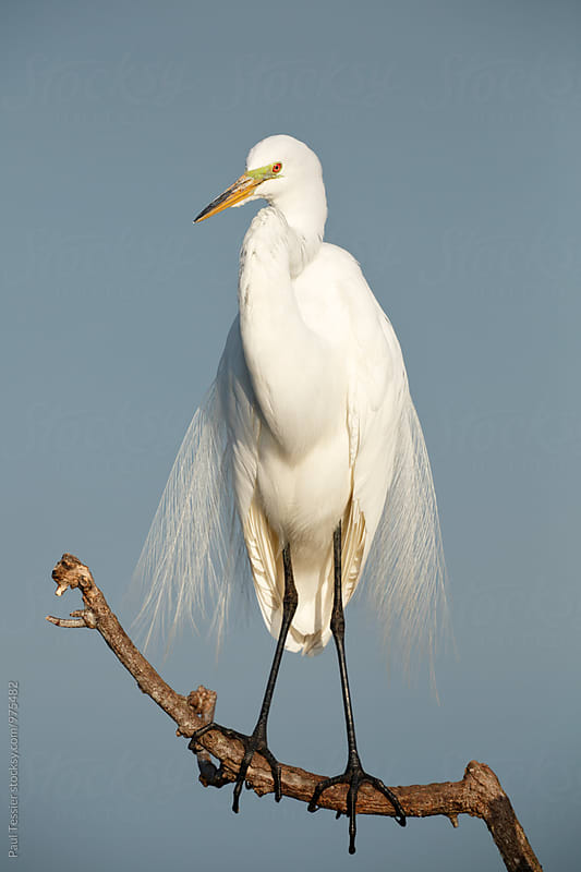 Great Egret by Paul Tessier for Stocksy United
