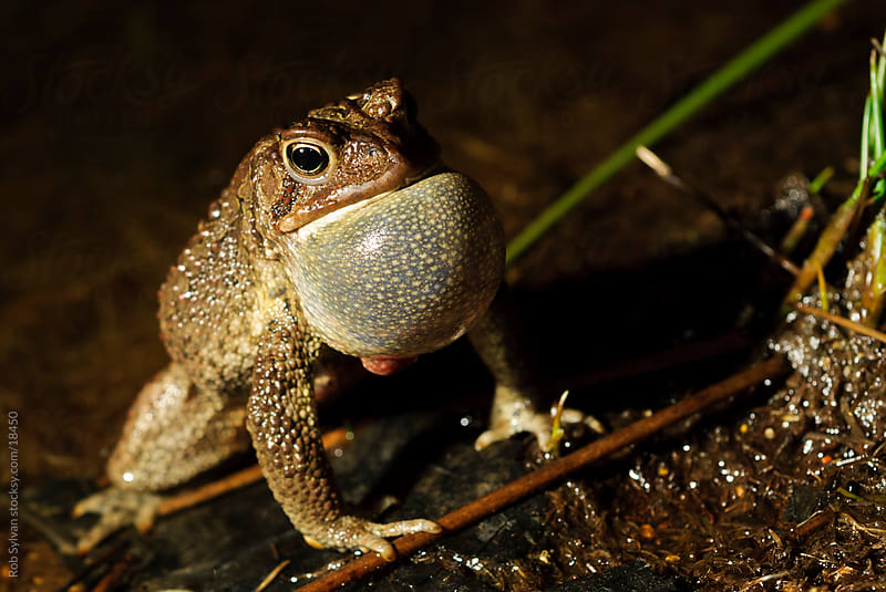 American Toad by Rob Sylvan for Stocksy United