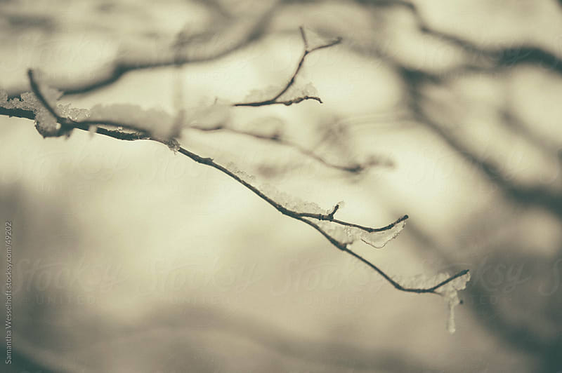 dogwood in winter with ice by Samantha Wesselhoft for Stocksy United