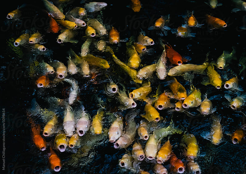 Swarm of Koi fish in different colors swimming in a big fish tank by Manuel Chillagano for Stocksy United