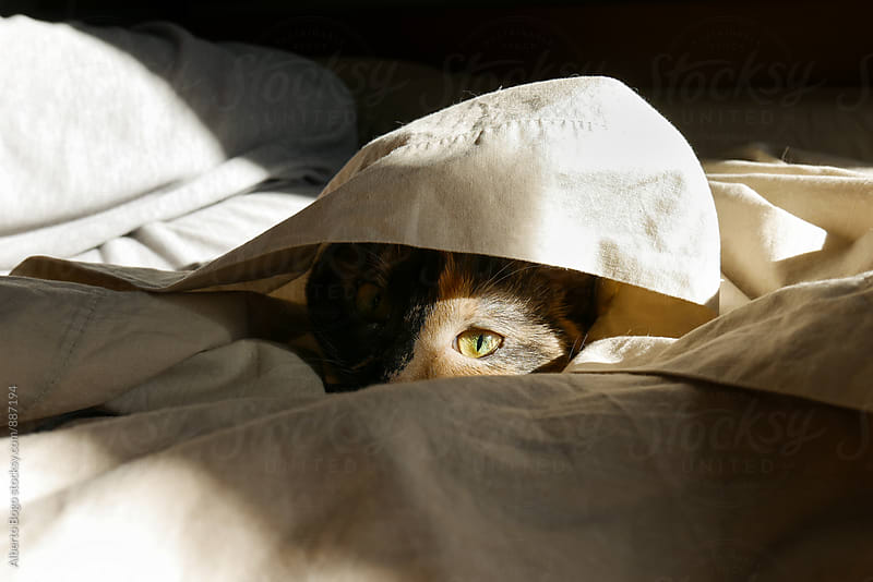 Adorable pet cat peeping out from blanket by Alberto Bogo for Stocksy United