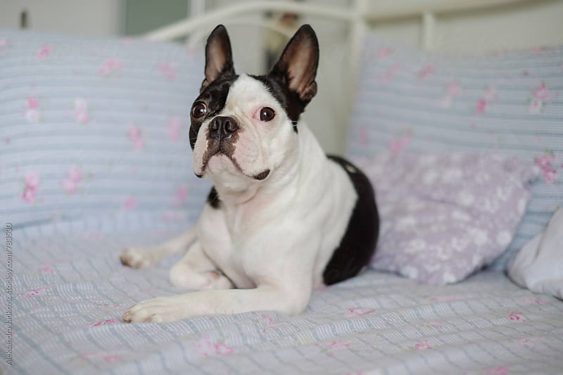 Cute Boston Terrier Lying on the Bed by Aleksandra Jankovic for Stocksy United
