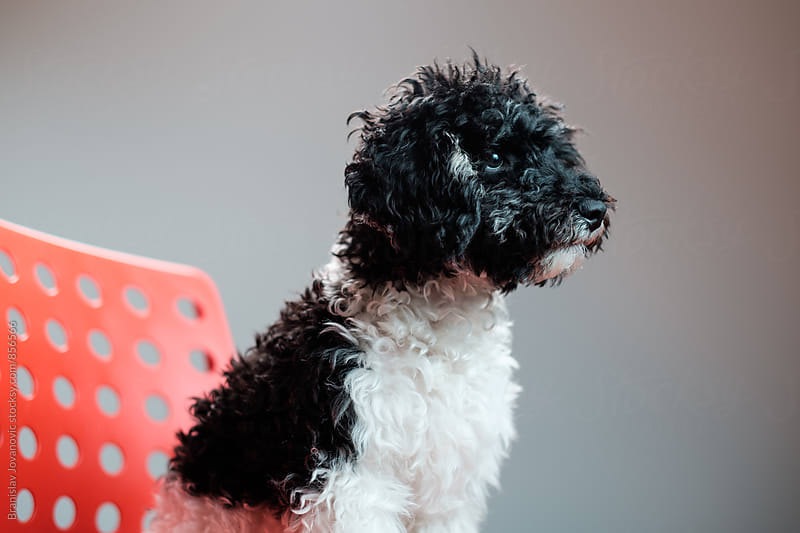 Harlequin Poodle Studio Portrait by Branislav Jovanović for Stocksy United