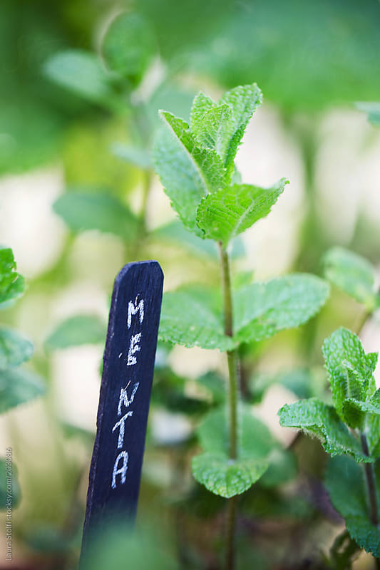 Handwritten mint plant botanical name on chalckboard tag on pot in garden by Laura Stolfi for Stocksy United