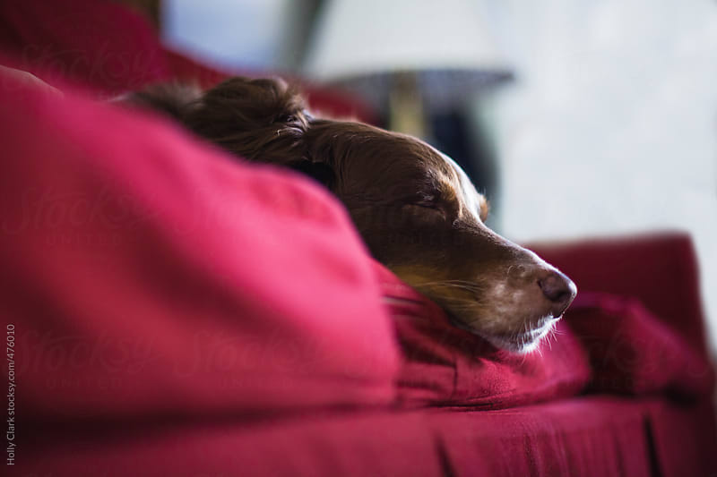 A dog sleeps on a red couch. by Holly Clark for Stocksy United
