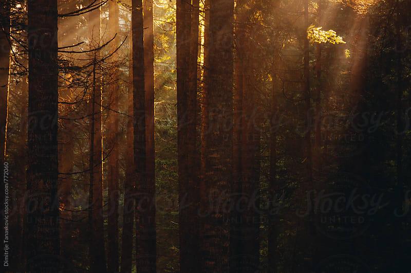 Morning in the forest by Dimitrije Tanaskovic for Stocksy United